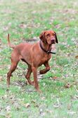 Magyar vizsla dog pointing — Stock Photo