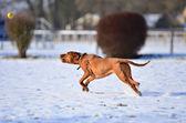 Magyar vizsla chasing a balll — Stock Photo