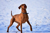 Magyar vizsla waiting in anticipation — Stock Photo