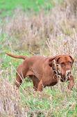 Magyar vizsla pointing in long grass — Stock Photo