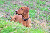 Portrait of a Magyar vizsla dog — Stock Photo