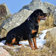 Profile portrait of a sitting Rottweiler — Stock Photo #20148923