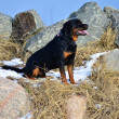 Royalty-Free Stock Photo: Happy Rottweiler sitting amongst rocks