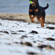 Rottweiler enjoying a game of Fetch — Stock Photo