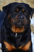 Intelligent placid Rottweiler portrait — Stock Photo