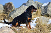 Profile portrait of a sitting Rottweiler — Stock Photo