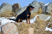 Happy Rottweiler sitting amongst rocks — Stock Photo