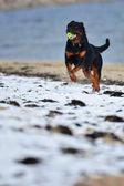 Rottweiler enjoying a game of Fetch — Stock Photo