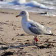 Stock Photo: Seagull walking across beach
