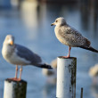 Stock Photo: Two seagulls perched on poles