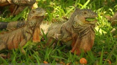 Iguanas Eating — Stock Video
