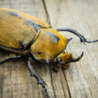 Elephant Beetle — Stock Photo