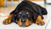 Rottweiler Puppy — Stock Photo