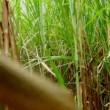 Walking through a sugarcane field — Stock Video