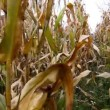 Stock Video: Maize field