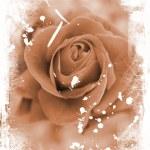 Rose grunge — Stock Photo #38396637