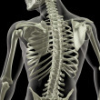 Stock Photo: Torso of medical skeleton