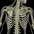 Stock Photo: Skeleton showing close up of rib cage