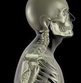 Männliche skelett mit nahaufnahme hals knochen — Stockfoto