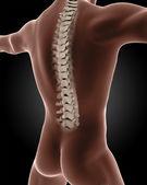 Male medical skeleton — Stock Photo