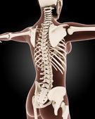 Female medical skeleton — Stock Photo