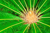 Cycad (cycas) plant — Stock Photo