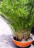 King Tut Papyrus plants — Stock Photo