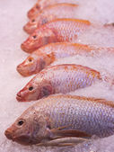 Red snapper fishes — Stock Photo
