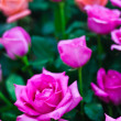 Beautiful Pink Rose Flower — Foto Stock