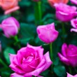 Beautiful Pink Rose Flower — Stock Photo