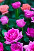 Vacker rosa ros blomma — Stockfoto