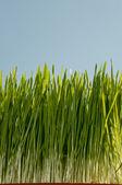 Wheatgrass — Stock Photo