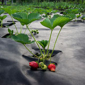 Strawberry cultivation under the cloth. — Stock Photo