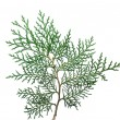 Stock Photo: Twig tree Thuja.