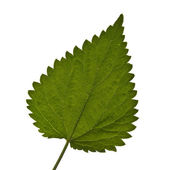 Nettle leaf. — Stock Photo