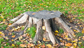 The old stump of the tree. — Stock Photo