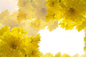 Frame of yellow chrysanthemums — Stock Photo