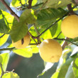 Лимоны на дереве - Lemons on the tree — Stock Photo