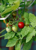 Cherry Tomato fresh in the garden — Stock Photo