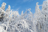 Branches of trees in snow — Stock Photo
