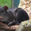 Stock Video: Common Agouti Rodent Species Lounging in Sun