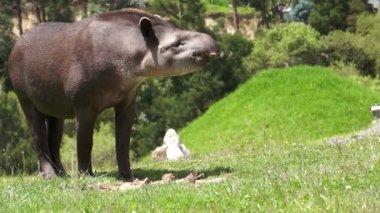Tapir Browsing Mammal Similar to Pig — Stock Video