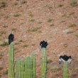 Vídeo Stock: Three Turkey Vultures on Cactus Wings Out