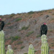 Two Turkey Vultures Resting — Stock Video