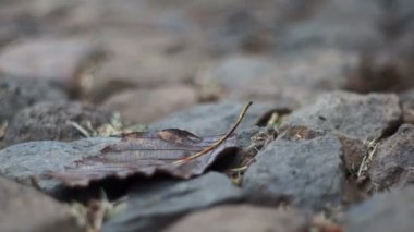 Dry Leaf on Rocks Dolly — Stock Video
