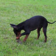 Manchester Terrier Playing Dolly — Stock Video