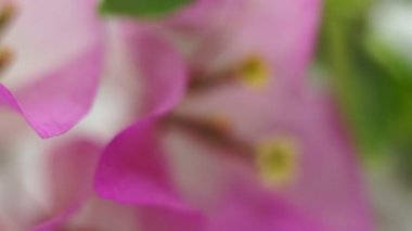Flower Bougainvillea Macro Dolly — Stock Video