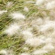 Fluffy white grass are shaking on the wind — Stock Photo