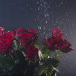 Red roses with water splashes are on colored background — Stock Photo