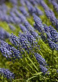 Blue spring flower. Grape hyacinth in sunny day — Stock Photo